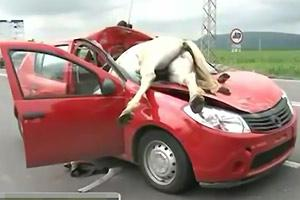 Horse Crashed Into Car Aftermath